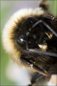 Getting up close and personal with a bee. Shot with a Canon MPE-65mm. A challenging but rewarding lens